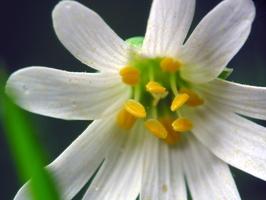Stellaria holostea · krūmokšninė žliūgė