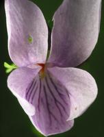 Viola epipsila · pelkinė našlaitė
