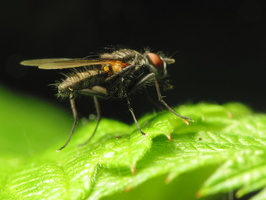 Diptera 1017