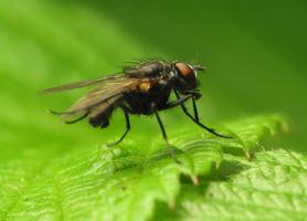 Diptera 1018