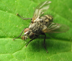 Diptera 1027