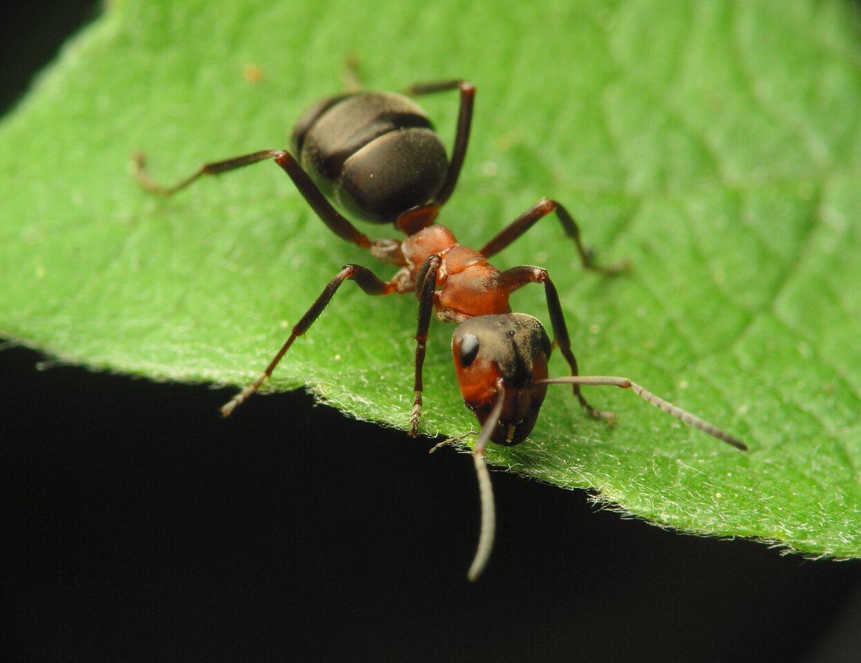 Formicidae-1034.jpg