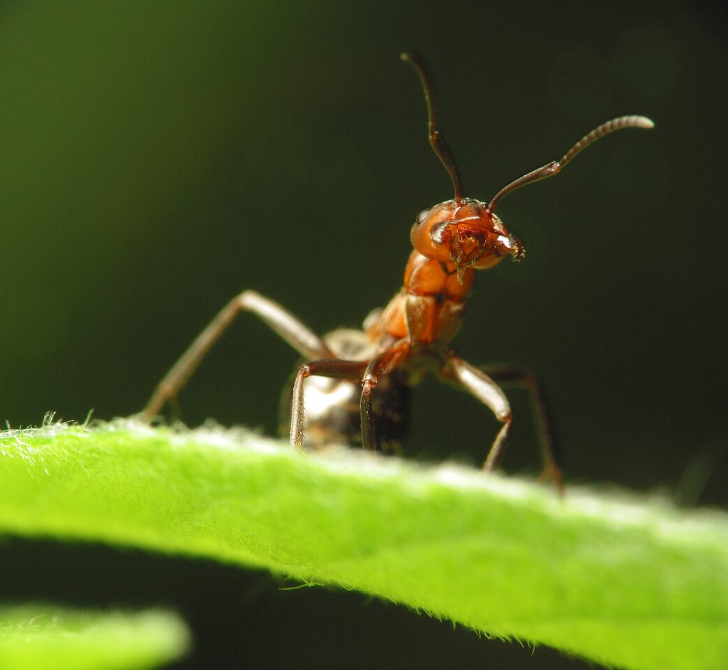 Formicidae-1039.jpg