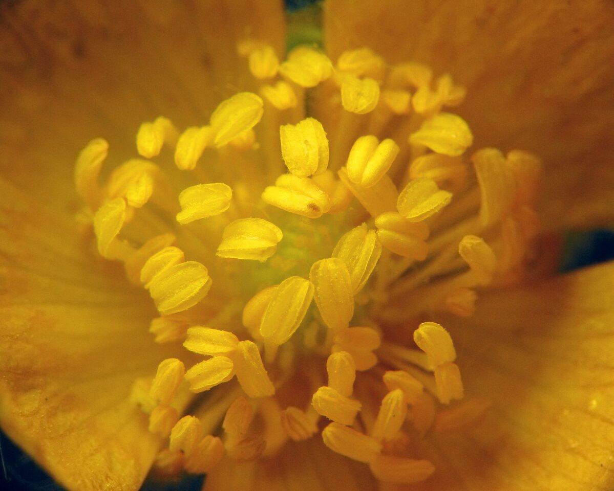 Ranunculus-1057.jpg