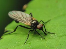 Diptera 1058
