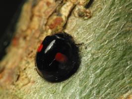 Chilocorus renipustulatus · juodbruvėlė boružė