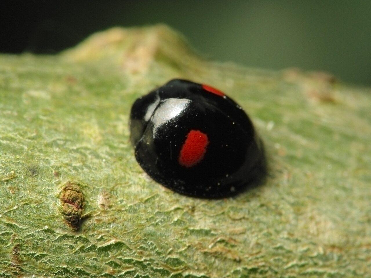 Chilocorus-renipustulatus-1092.jpg