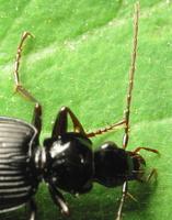 Limodromus assimilis · paprastasis juodžygis