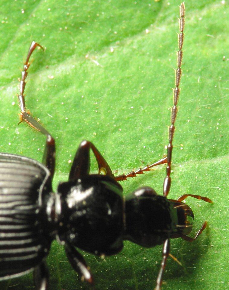 Limodromus-assimilis-1099.jpg