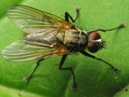 Muscidae · tikramusė