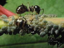 apačioje dešinėje amaras išskyrė sirupo lašą skruzdei