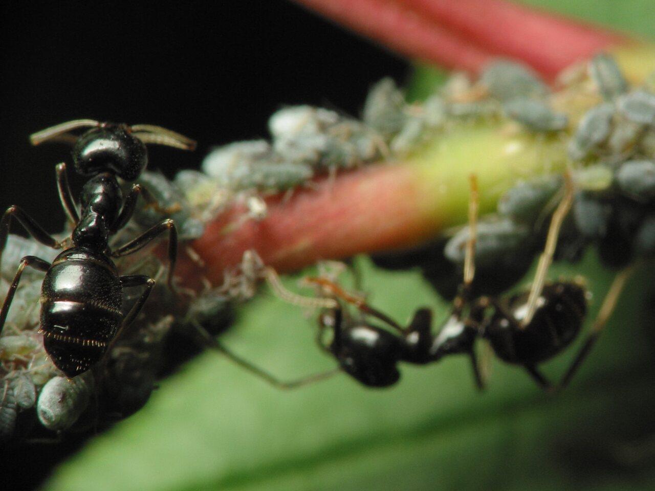 Formicidae-1115.jpg