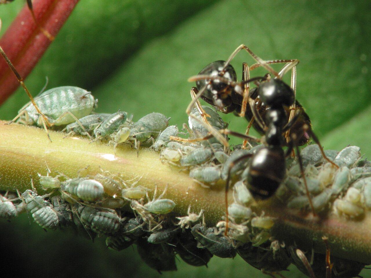 Formicidae-1117.jpg