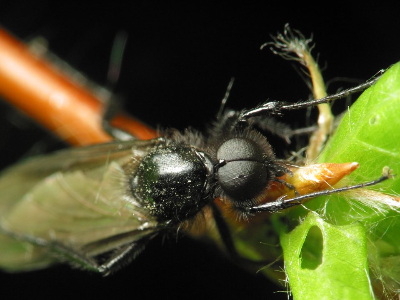 Bibionidae-1153.jpg