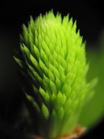 Picea abies · paprastoji eglė