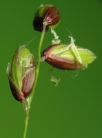 Hierochloe sp. · stumbražolė