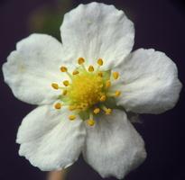 Fragaria vesca · paprastoji žemuogė