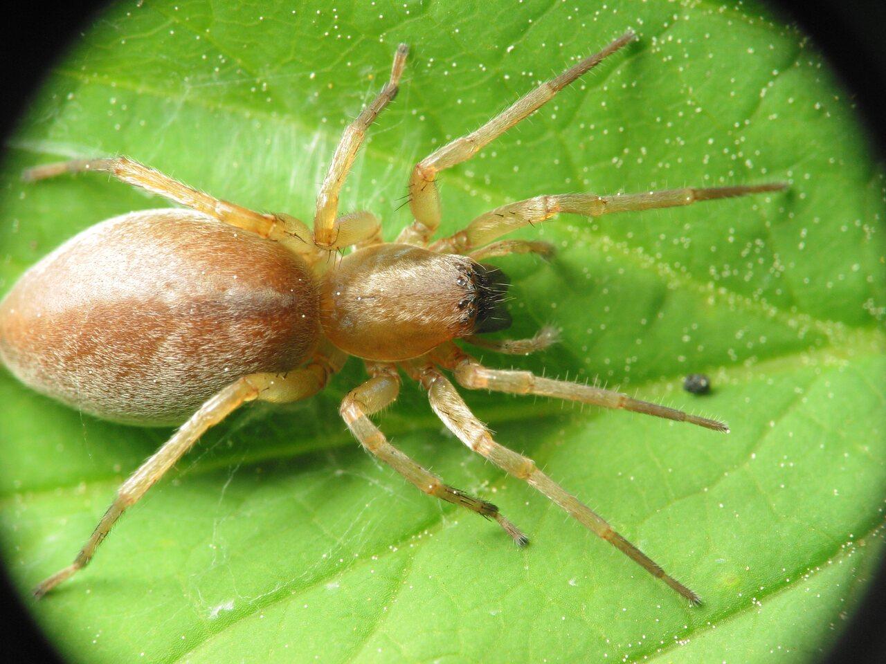 Clubionidae-1214.jpg