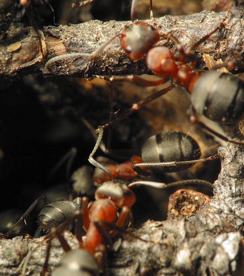 Formicidae-1229.jpg