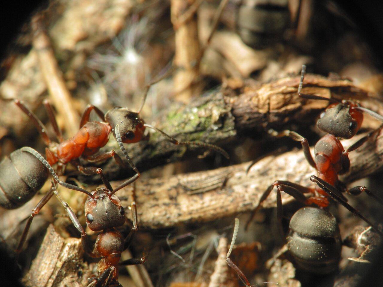 Formicidae-1235.jpg