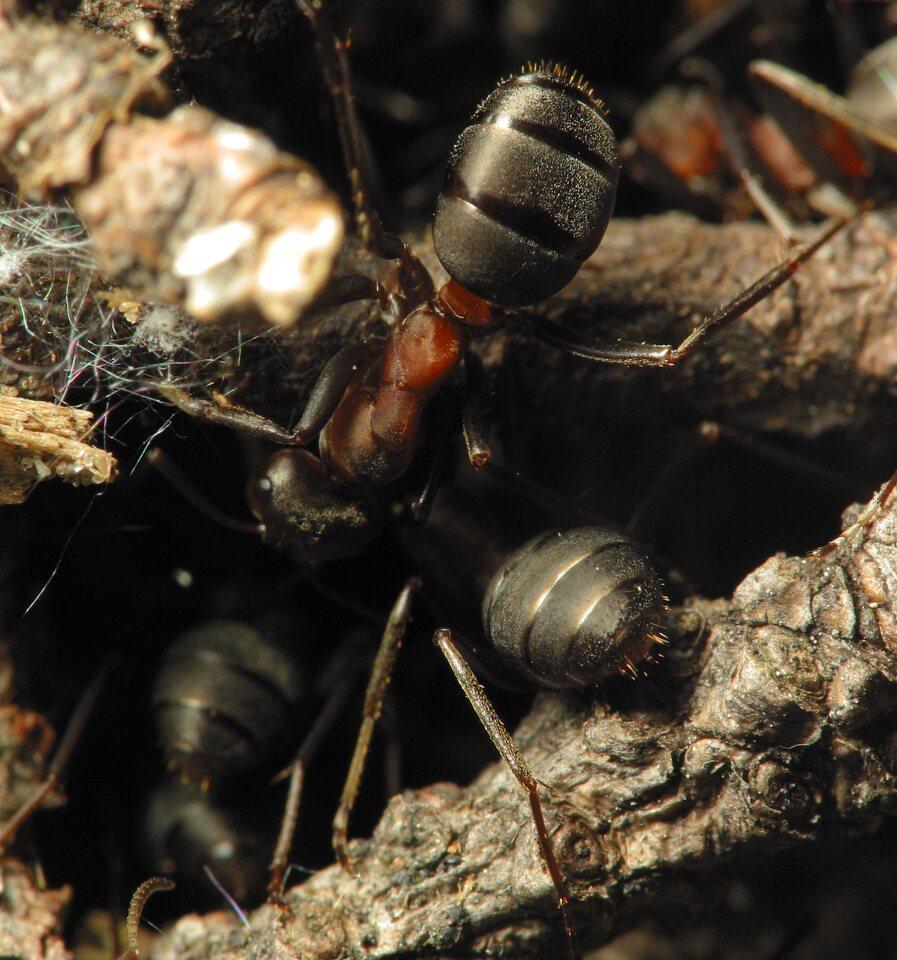 Formicidae-1234.jpg