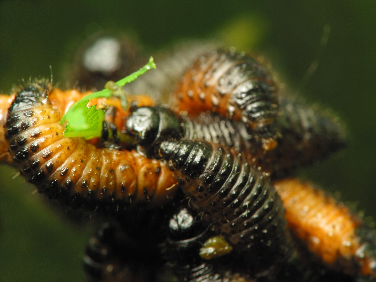Chrysomelidae-larvae-1252.jpg