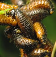 Chrysomelidae larvae · lapgraužio lervos