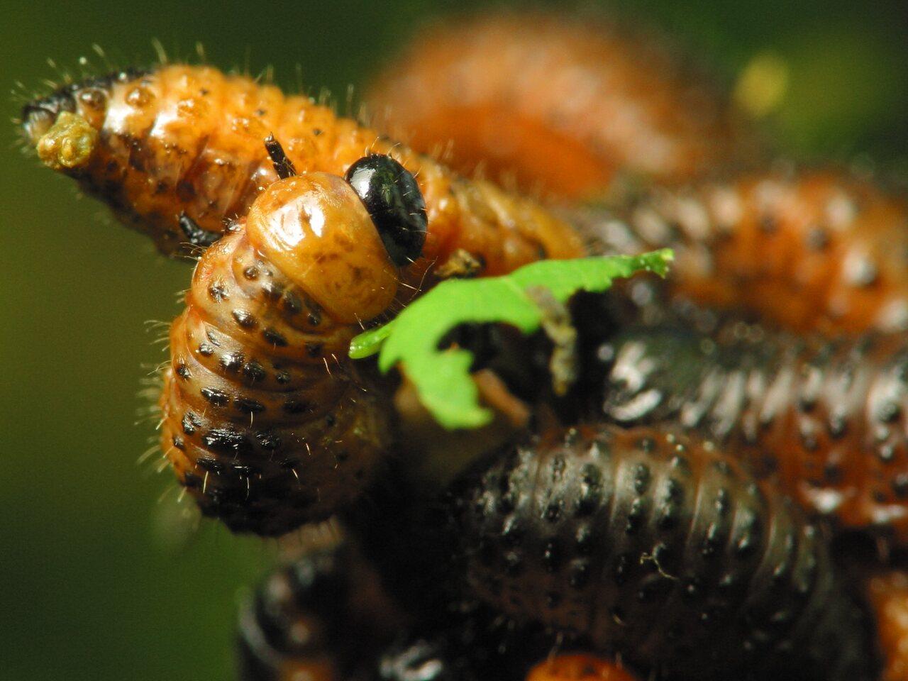 Chrysomelidae-larvae-1256.jpg