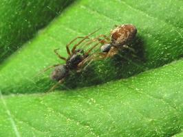 Dictyna arundinacea · tamsiažiedis raizguolis