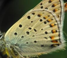 Lycaena tityrus · tamsusis auksinukas