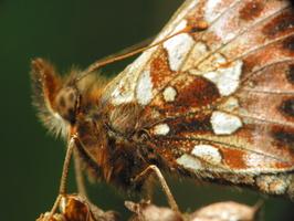 Nymphalidae · plaštakė