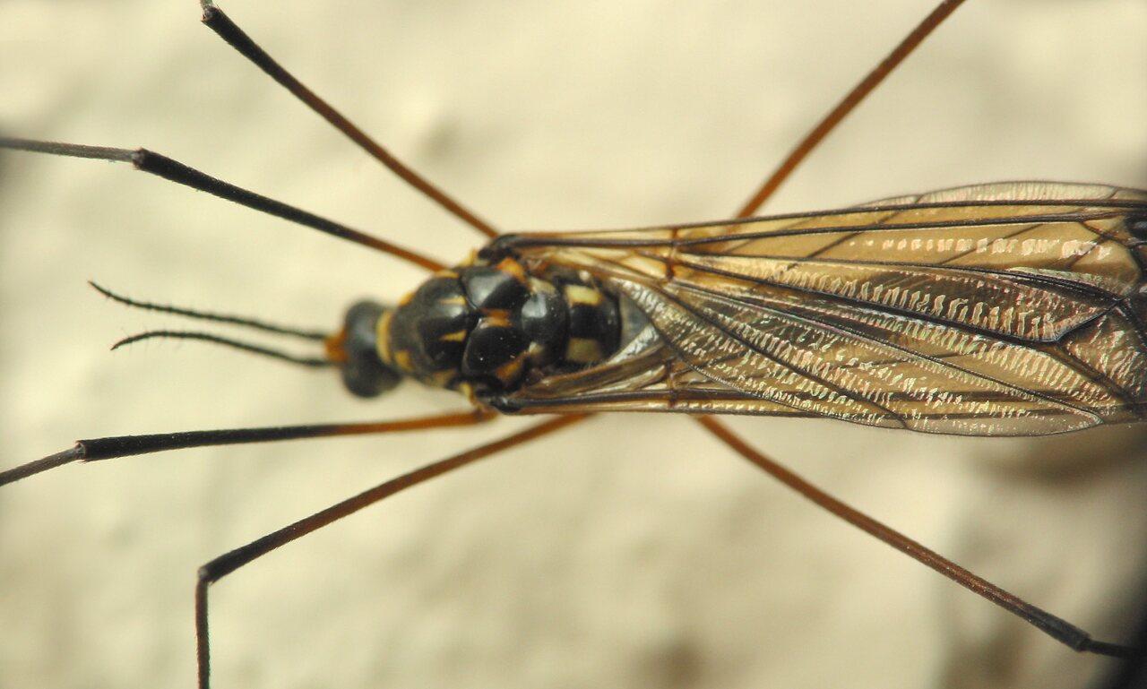 Limoniidae-1336.jpg