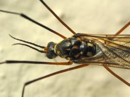 Nephrotoma pratensis · ilgakojis uodas 1337