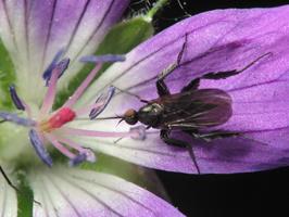 Empis pennipes female · snapmusė ♀