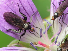 Empis pennipes · snapmusė