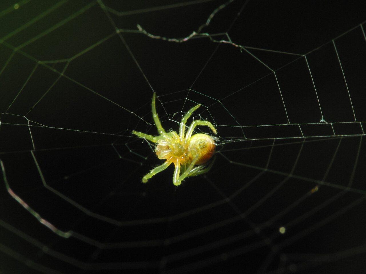 Araneae-1367.jpg