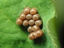 ~other Heteroptera