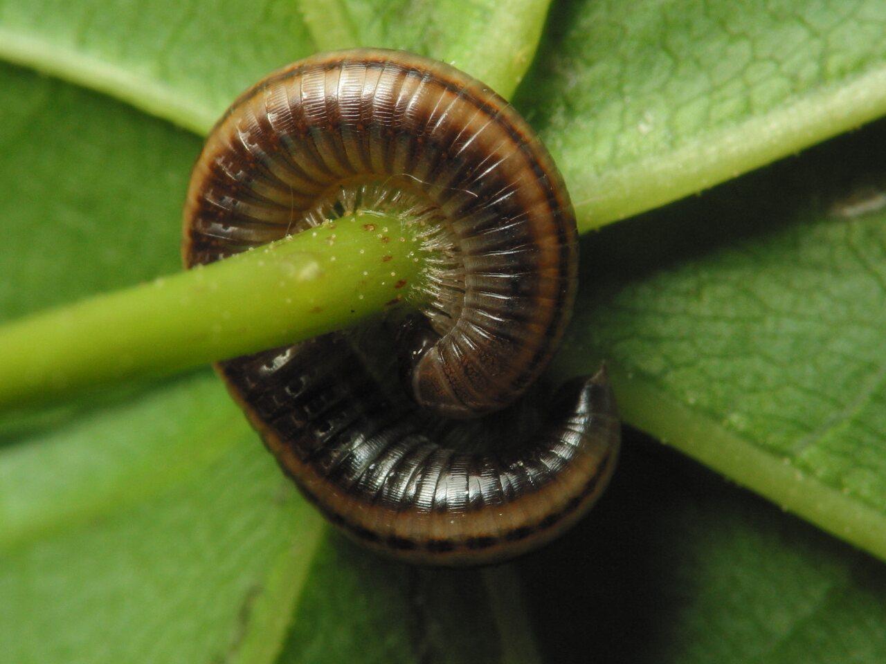 Ommatoiulus-sabulosus-1391.jpg