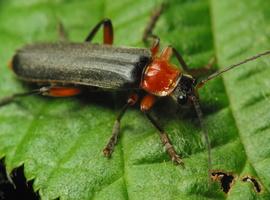 Cantharis pellucida · minkštavabalis