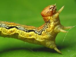 Erannis defoliaria caterpillar · žiemsprindis, vikšras