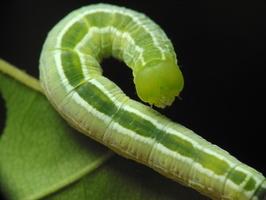 Ptilophora plumigera caterpillar · rudeninis kuoduotis, vikšras