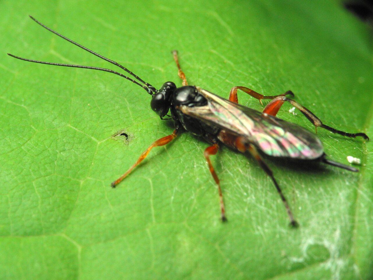 Hymenoptera-1445.jpg