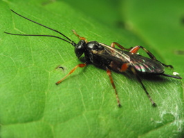 Hymenoptera 1446