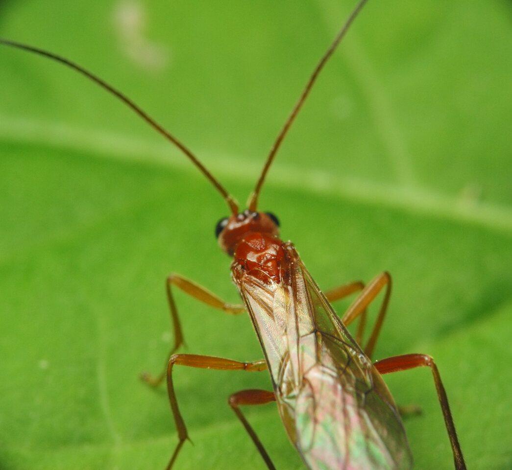 Hymenoptera-1451.jpg