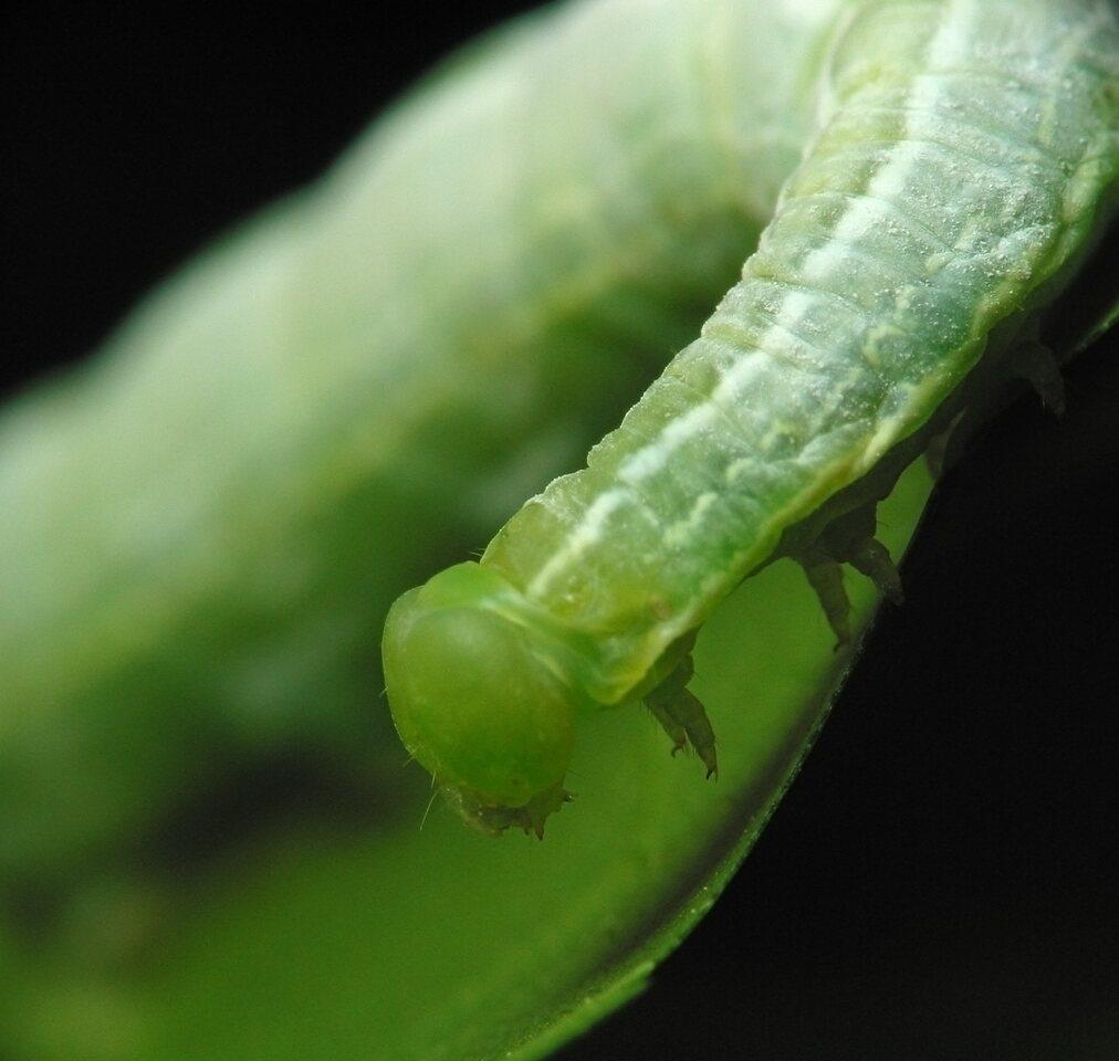 Lepidoptera-1459.jpg