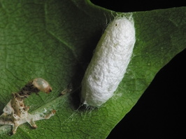 cocoon and larva exuvia 1475