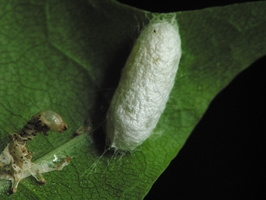 Insect cocoon and larva exuviae