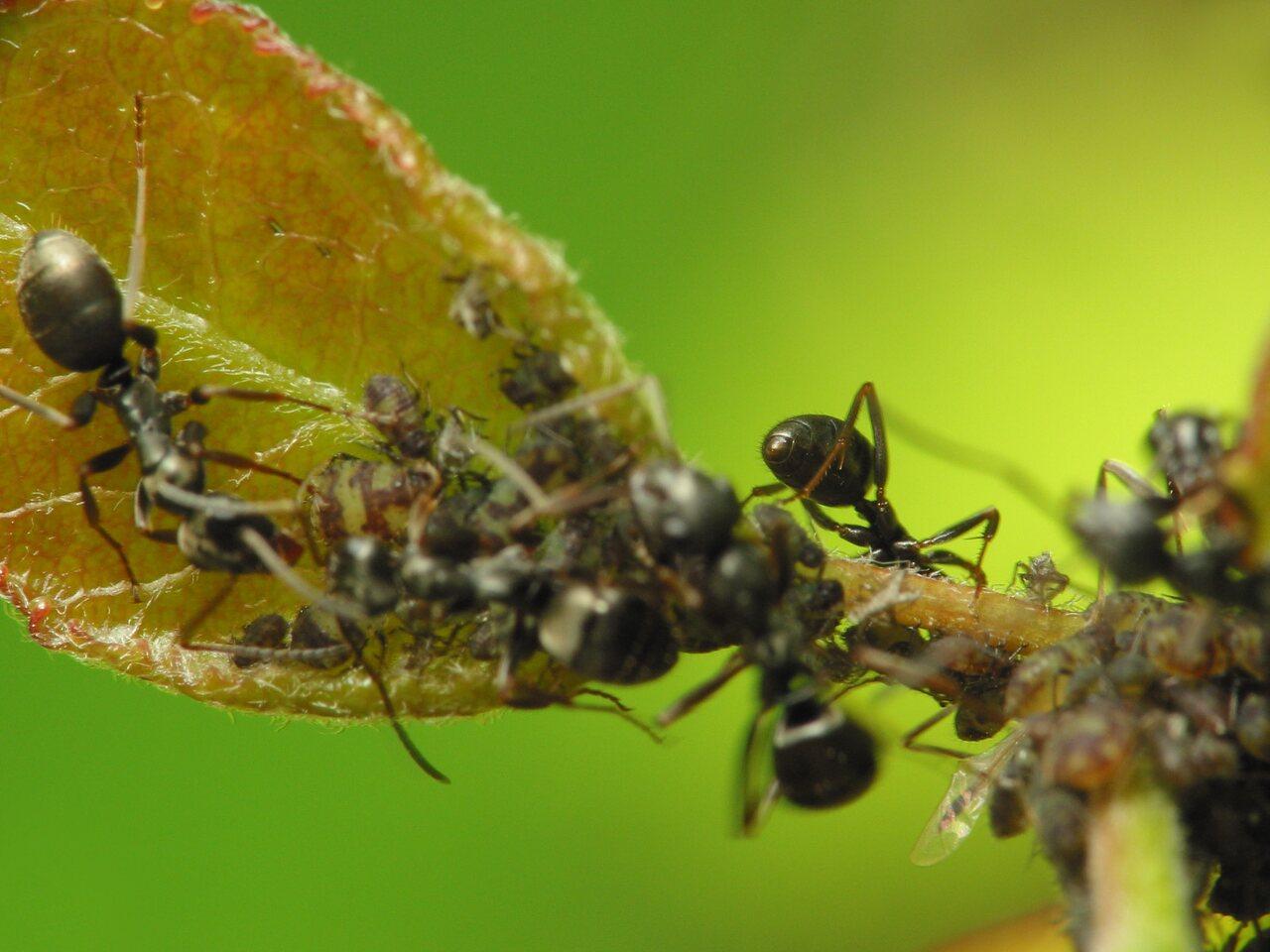 Formicidae-1492.jpg