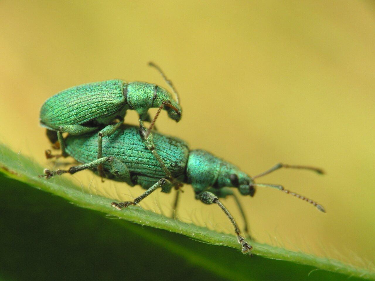 Phyllobius-argentatus-1500.jpg