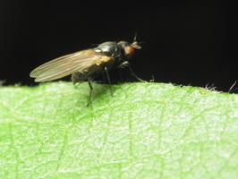 Diptera 1555